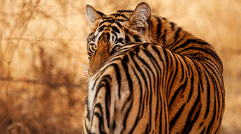 Rajasthan Tour with Tiger Safari